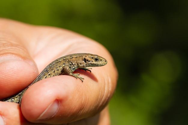 Mão de um homem segurando um lagarto em uma vegetação desfocada