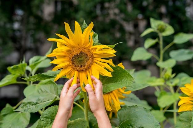 Mão de uma mulher com girassóis florescendo no verão