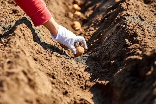 Mão de uma mulher plantando tubérculos de batata no solo