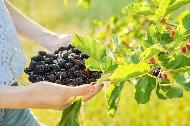 Mão de uma mulher segurando amoras de frutas maduras, jardim com amoreira, alimentos naturais e saudáveis de vitaminas na temporada de verão