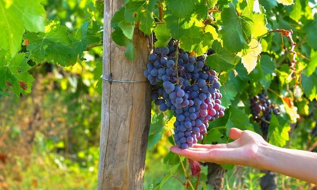 Mão de uma mulher segurando cacho de uvas vermelhas de vineyard. colheita da uva 2019.