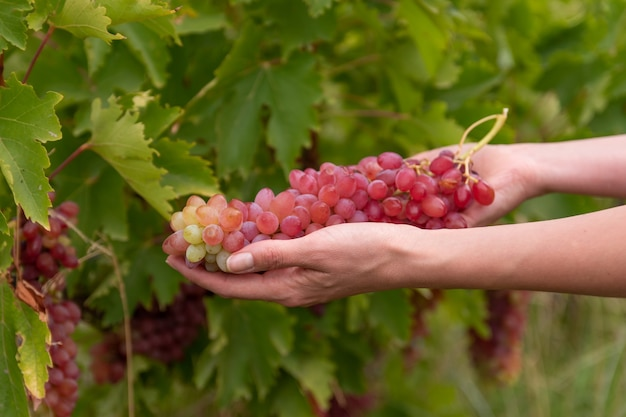 Mão de uma mulher segurando cacho de uvas vermelhas