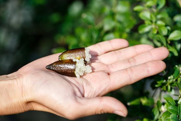 Mão de uma mulher segurando frescos maduros austrália dedo limas ou caviar de limão