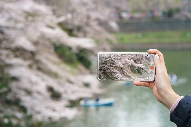Mão de uma mulher segurando o telefone móvel, tirando uma foto com flores de cerejeira japonesas ou vista de sakura.