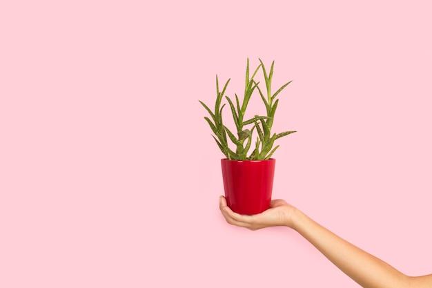 Mão de uma mulher segurando um vaso de flores com uma planta de aloe vera em um fundo rosa