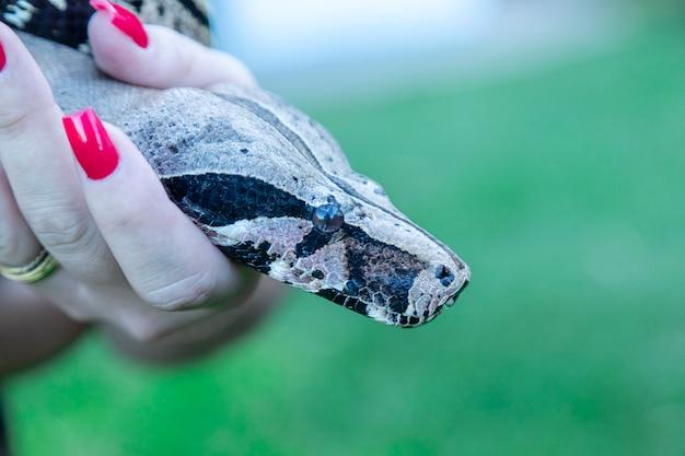 Mão de uma mulher segurando uma cobra jibóia (jibóia)