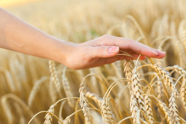 Mão de uma mulher tocando espigas de trigo no campo
