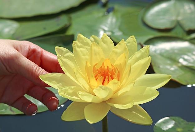 Mão de uma mulher tocando uma bela nymphaea amarela joey tomocik com cuidado