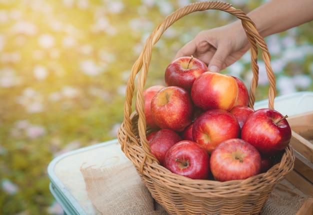 Mão do agricultor colocar maçãs vermelhas frescas orgânicas saudáveis para a cesta