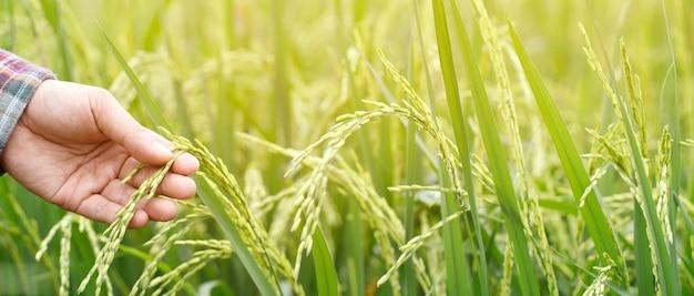 Mão do agricultor com campo de arroz.