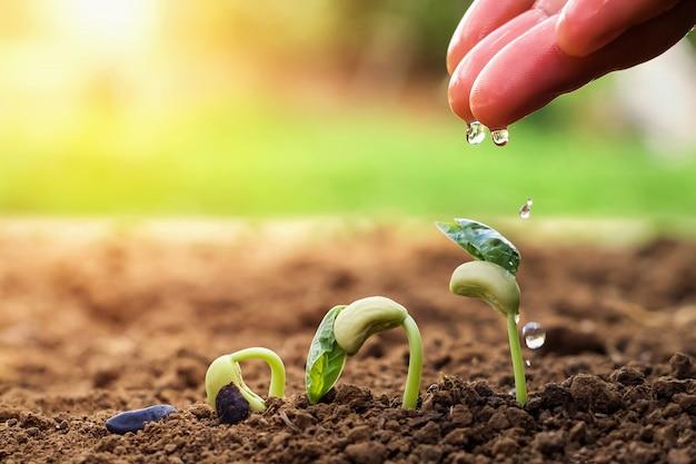 Mão do agricultor que rega a feijões pequenos no jardim