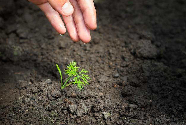 Mão do agricultor regando uma planta jovem em câmera lenta. uma nova vida, um homem segura na mão um rebento com folhas no chão, molhadas de gotas.