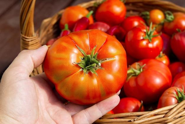Mão do agricultor segura um tomate no fundo de uma cesta com tomates.