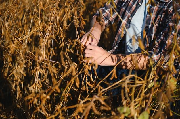 Mão do agricultor segurando sementes de soja. produto orgânico saudável. bom conceito de colheita.