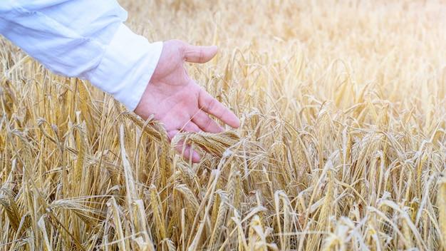 Mão do agricultor tocando trigo amadurecido no campo. agricultura, conceito de colheita sazonal.