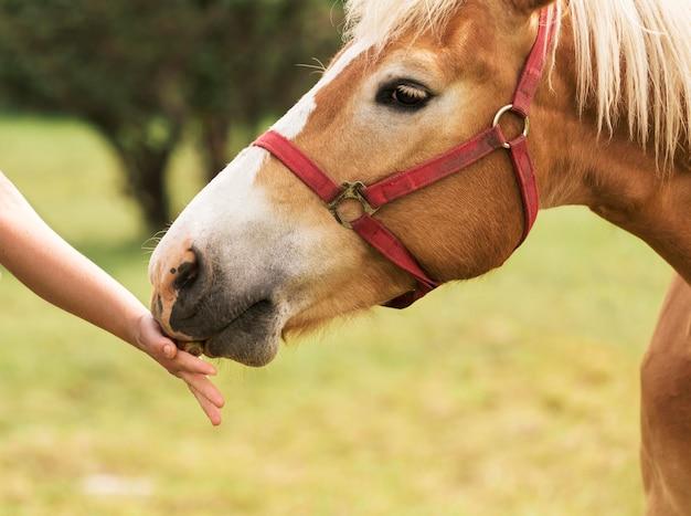 Mão do close-up que toca no cavalo