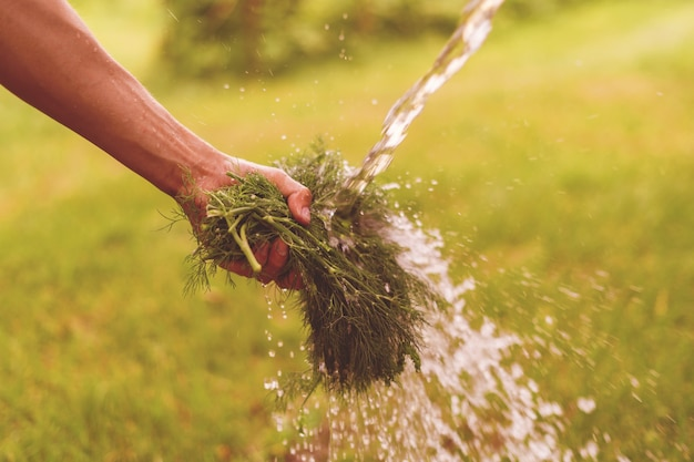 Mão do fazendeiro lavando a erva verde e os vegetais no jardim com respingos de água