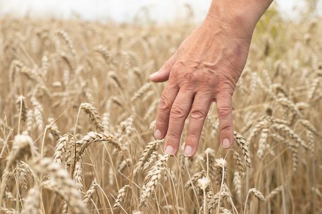 Mão do homem em espigas de trigo, close up