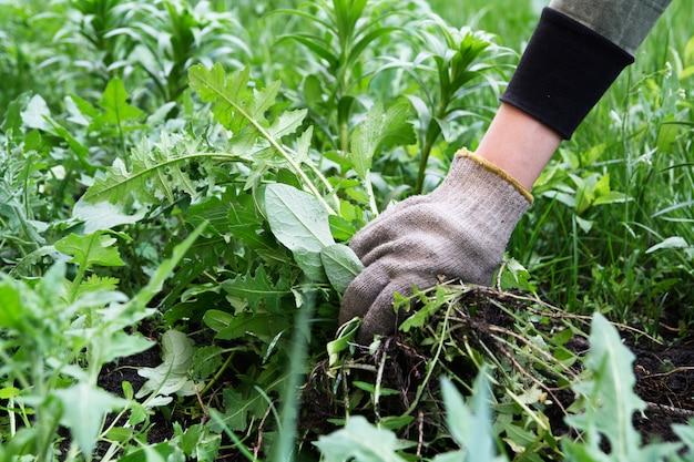 Mão do jardineiro em uma luva com ervas daninhas rasgadas. controle de ervas daninhas. preparação de primavera de terra no jardim