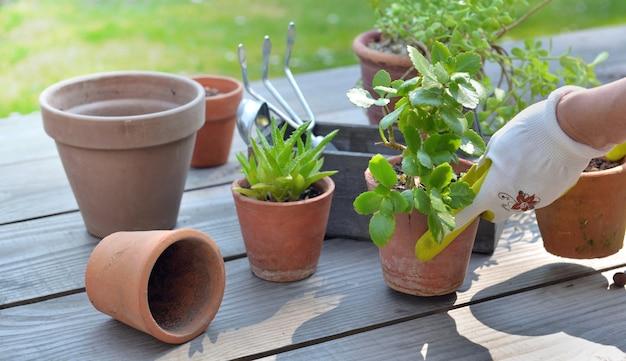 Mão do jardineiro envasando uma planta suculenta em uma mesa no jardim