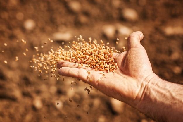 Mão do semeador com sementes de trigo