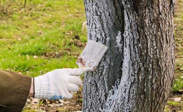 Mão dos homens com escova, cal de árvore de primavera.