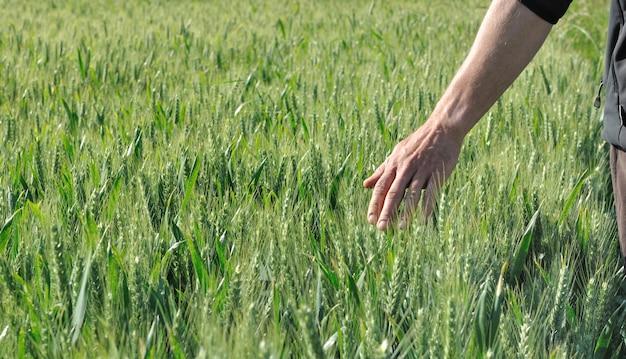 Mão, em, um, cevada, campo