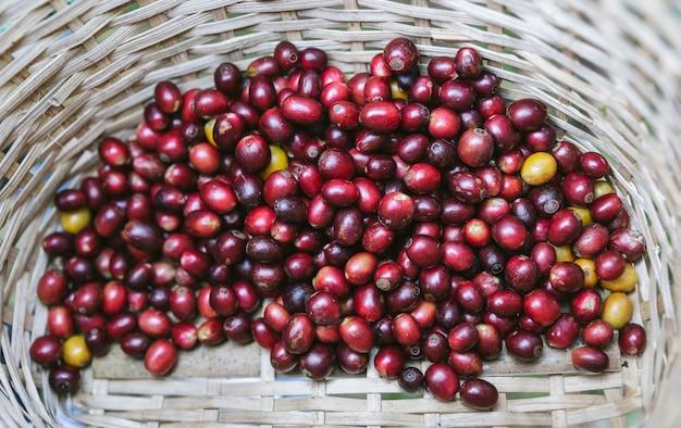 Mão escolheu bagas de café arábica vermelhas maduras na cesta na aldeia de akha