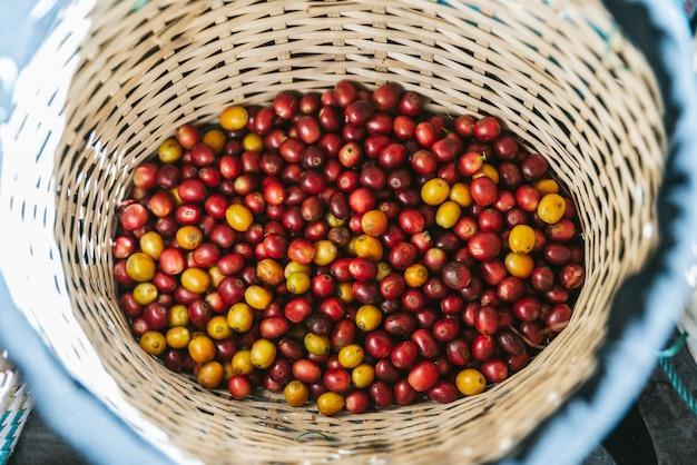 Mão escolheu bagas de café vermelhas e amarelas maduras da goma-arábica na cesta.