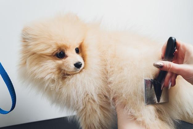 Mão fazendo aliciamento, corte de cabelo, penteando a lã do lindo cachorro pomeranian spitz feliz. cachorrinho fofo, cuidado de pêlos de animais, procedimento de corte. vet cabeleireiro, salão de beleza.
