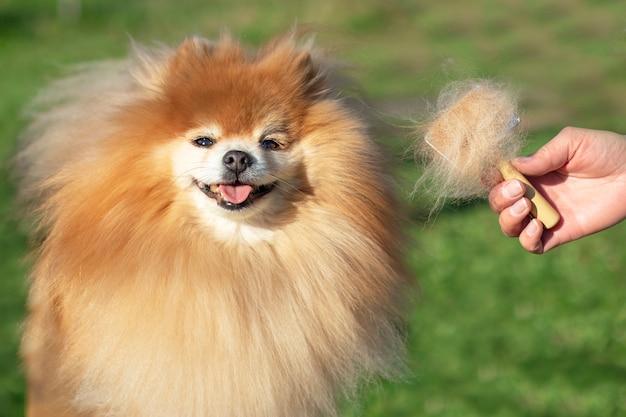 Mão fazendo aliciamento, corte de cabelo, penteando a lã do lindo cão feliz pomeranian spitz. cachorrinho fofo, pêlos de animais, procedimento de corte. cabeleireiro veterinário, salão de beleza ao ar livre