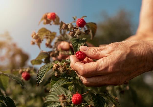 Mão feminina colhendo framboesas do arbusto do jardim com baga vermelha em close up do galho