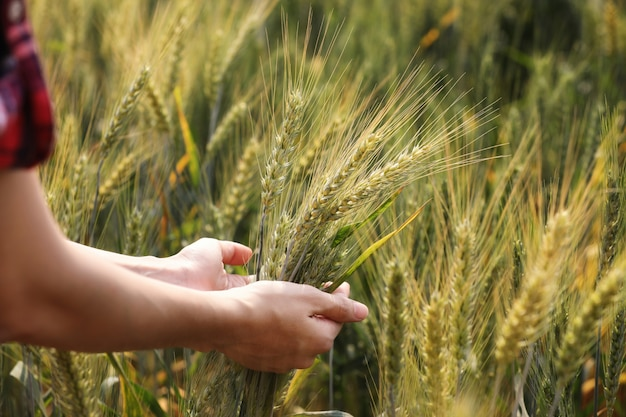 Mão feminina ganha as espigas de trigo. agricultura.