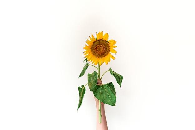 Mão feminina segura girassol amarelo contra branco. conceito de verão ou outono.