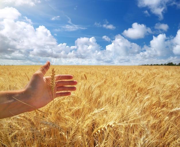 Mão humana e trigo