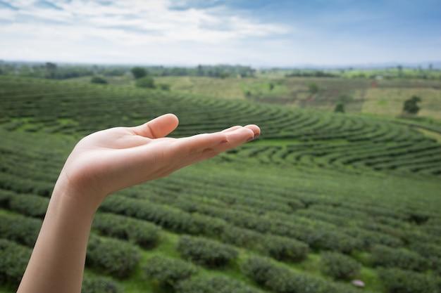 Mão livre de foco seletivo, mostrando com fundo de plantação de chá