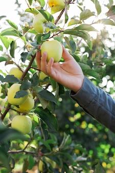 Mão masculina segura linda saborosa maçã verde no galho de macieira no pomar, colheita.