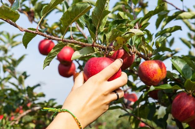 Mão mulher, escolher, um, maçã