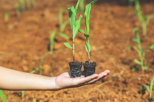 Mão mulheres broto verde planta de milho crescendo na natureza à luz da manhã