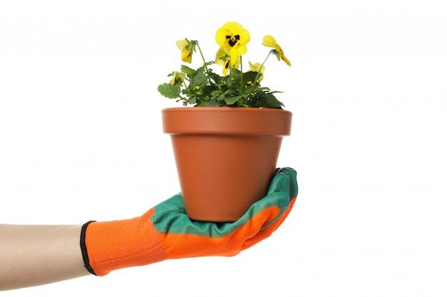 Mão na luva de jardinagem segura pansies, isolados no branco isolado