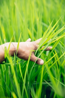 Mão no campo de arroz verde