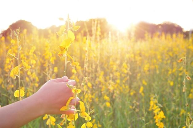 Mão no campo de flores amarelas.