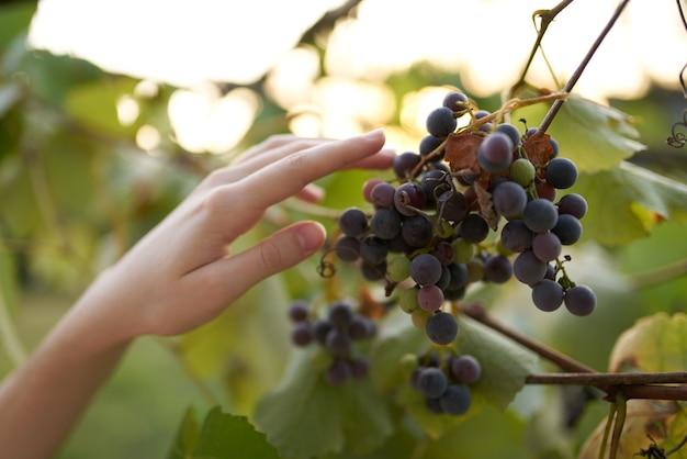 Mão perto de cachos de uvas natureza vitaminas frutas