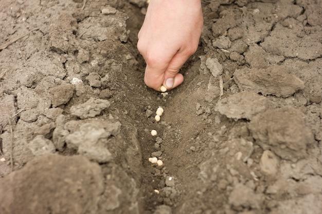 Mão, plantar, ervilha, sementes, primavera, colheitas, agricultura