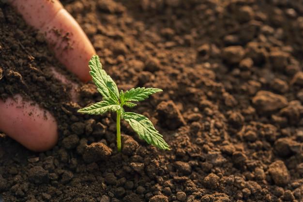Mão plantio de cannabis no jardim com luz do sol