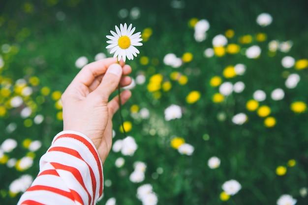 Mão segura camomila branca no fundo de um prado alpino desfocado com flores silvestres desabrochando