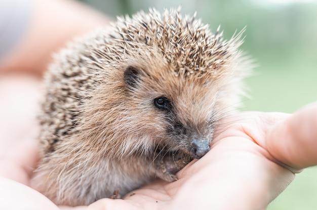 Mão segura um ouriço espinhoso selvagem pequeno bonito. resgate e cuidado de animais, proteção do meio ambiente