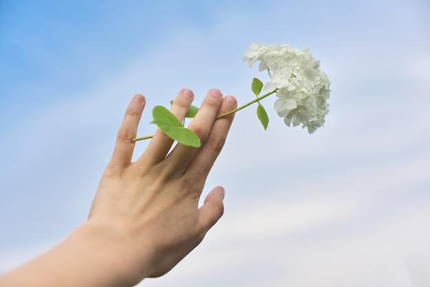 Mão segurando a flor de hortênsia branca