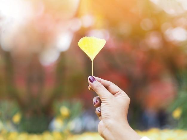 Mão segurando a folha amarela de ginko no outono.
