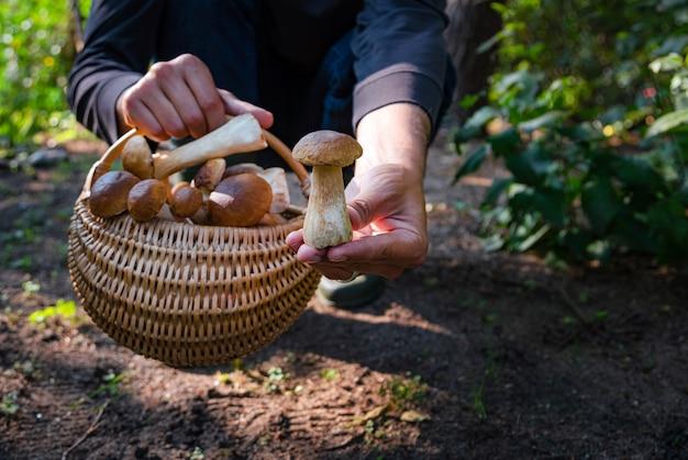 Mão segurando boltetus edulis ao lado de uma cesta de vime cheia de cogumelos na floresta. temporada de colheita de cogumelos na floresta no outono.